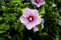 Mugunghwa_Rose Of Sharon
