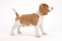 A posing puppy
