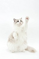 A sitting cat raising its hand