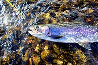 beautiful rainbow trout caught on a dry fly before its release