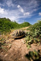 turtle in the island of Menorca, Balearic Islands, Spain