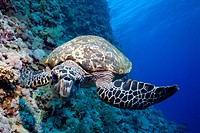 Hawksbill Sea Turtle, Eretmochelys imbricata, Elphinstone Reef, Red Sea, Egypt