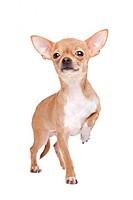 Miniature Chihuahua