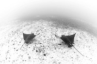 Pair of Spotted Eagle Rays, Aetobatus narinari, Cocos Island, Pacific Ocean, Costa Rica
