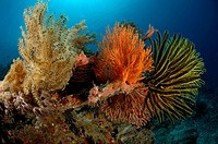 Feather Stars in Coral Reef, Comanthina sp., Alor, Indonesia