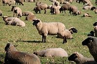 Schwarzköpfige Schafe