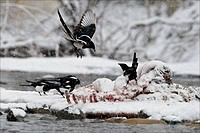 A group of magpies jockey for position at a winter carcass.