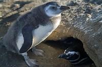 A Magellanic penguin chick, Sheniscus magellanicus, in Patagonia.