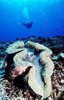 Diver and giant clam Tridacna sp  Tufi  Papua New Guinea