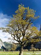 Eng Valley with the famous sycamore maple trees, Karwendel mountain range, during late autumn - fall  The Eng valley is the most famous of all valleys...