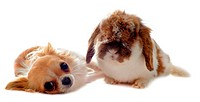 chihuahua and Lop Rabbit