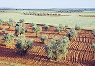 Olive grove and cereal field. Ciudad Real province, Castilla La Mancha, Spain.