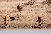 Impala Aepyceros melampus _ Impala at the waterhole