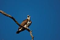 Osprey Collie River, Western Australia