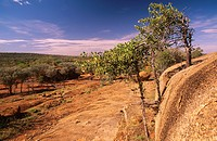 Myrtle trees,Olive leaf, clinging to granite outcrop, kopje,Currawinya National Park, western Queensland, Australia