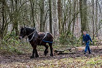 Forester dragging tree_trunks from forest with Belgian Draft horse Equus caballus, Belgium