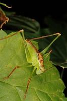 Male of a speckled bush_cricket Leptophyes punctatissima on a leaf, Männchen einer Punktierten Zartschrecke Leptophyes punctatissima auf einem Blatt