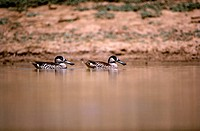 Pink_eared duck pair in water, Tibooburra, far western New South Wales, Australia