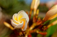 Close up of a bud of Plumeria flower