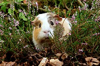 Guinea Pig, cavia porcellus, Adult standing in Heaters