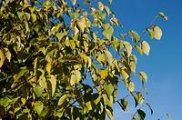 sommergrüne Zweige