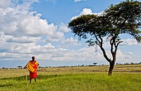 Kenya Masai Mara reserve with lonely Masai warrior and acacia tree and clouds in Masai Mara National Park in reserve 8