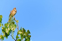 Corn Bunting Emberiza calandra perched and calling on branch Lleida Catalonia Spain