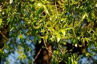 Junge Blätter und Blüten eines weiblichen Baumes