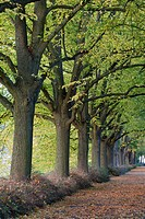 alley with trees in autumn, Trier, Rhineland-Palatinate, Germany