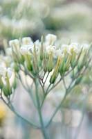 KALANCHOE LATISEPALA FLOWERS