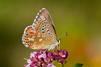 Adonis Blue, Lysandra bellargus, female on flower, UK
