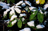Blätter mit Schnee