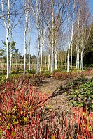 BETULA UTILIS VAR. JACQUEMONTII AND PRUNED CORNUS IN SPRING