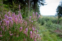 Ladock wood, Cornwall, UK, heather