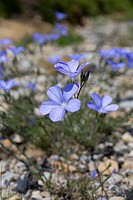 Perennial Flax, Linum perenne, Pyrenees, Spain