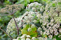 Wild Angelica, Angelica sylvestris, insects, flowers, Cornwall, UK