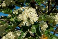 Zweig mit Blütenrispen und typischen Blättern