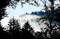 Nebel im Wald, Fog in the forest,