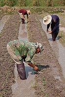 Bauern pflanzen Setzlinge an, Maisfeld, Chiang Mai, Thailand, Südostasien Farmers are planting seedlings, corn field, Chiang Mai, Thailand, Southeast ...