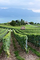 Vineyards near Lake, Leman, Veytaux, Riviera-Pays-d´Enhaut, Canton of Vaud, Switzerland.
