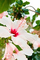 beautiful tropical white hibiscus Malvaceae flower