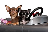 Chihuahuas, 7 and 3 months old, sitting in convertible in front of white backgro