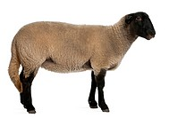 Female Suffolk sheep, Ovis aries, 2 years old, standing in front of white backgr