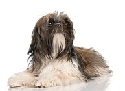 Shih Tzu puppy (8 months old)