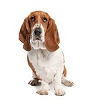 Basset Hound (1 year old)- hush puppy