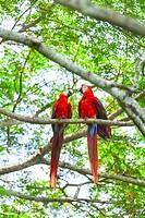 Scarlet Macaw Ara macao