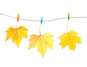 Autumn leaves and clothes pegs, isolated on white