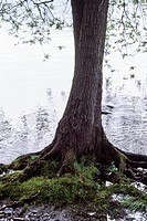 willow tree by the lake, Lake Maggiore, Ranco, Varese, Lombardy, Italy