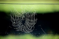 Spider Net; Spider's Web in the Early Morning Dew; New Zealand