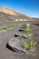 Plantation of vines in volcanic ground in La Geria, Lanzarote Island, Canary Islands, Spain